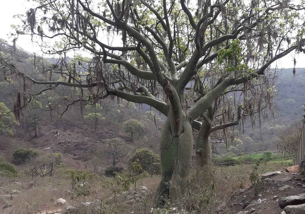El ceibo, el prodigioso árbol que forma parte del bosque seco piurano